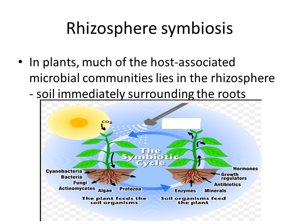 Rhizosphere symbiosis In plants, much of the host-associated microbial communities lies in the rhizosphere - soil immediately surrounding the roots