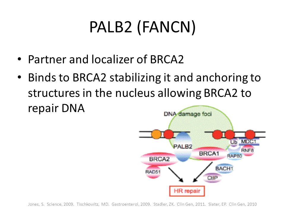 PALB2 (FANCN) Partner and localizer of BRCA2 Binds to BRCA2 stabilizing it and anchoring to structures in the nucleus allowing BRCA2 to repair DNA Jones, S.
