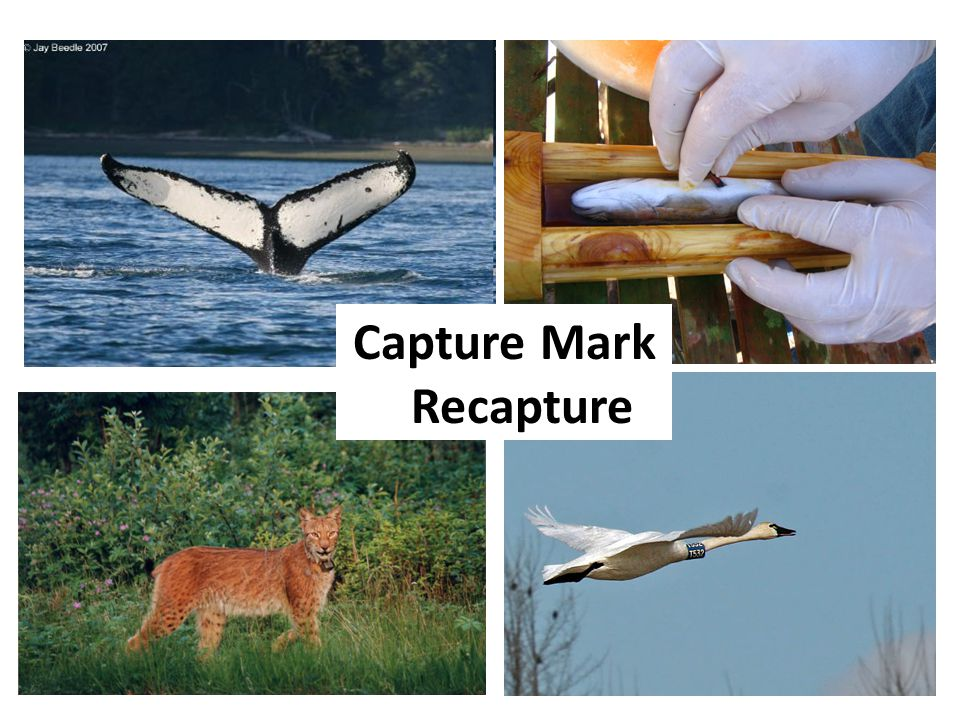 Capture Mark Recapture