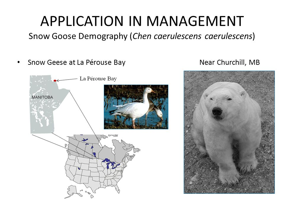 APPLICATION IN MANAGEMENT Snow Goose Demography (Chen caerulescens caerulescens) Snow Geese at La Pérouse Bay Near Churchill, MB