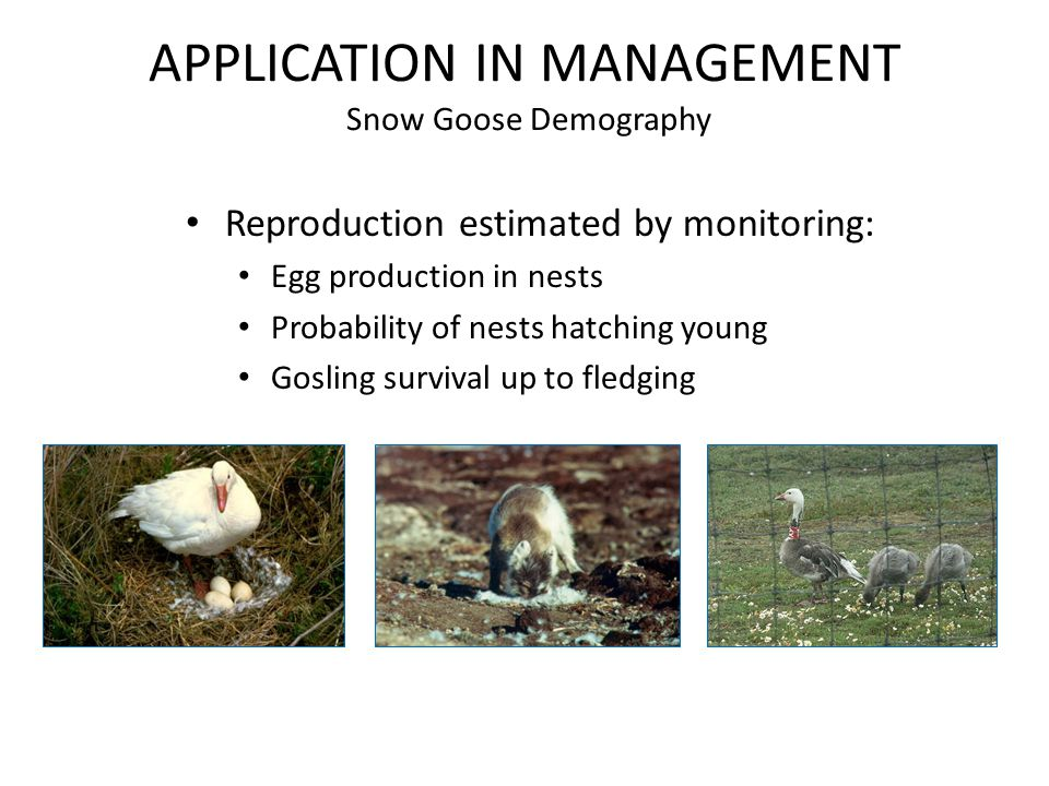 APPLICATION IN MANAGEMENT Snow Goose Demography Reproduction estimated by monitoring: Egg production in nests Probability of nests hatching young Gosling survival up to fledging