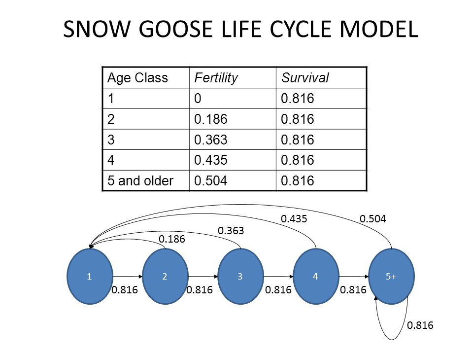 SNOW GOOSE LIFE CYCLE MODEL 0.816 0.5040.435 0.363 0.186 Age ClassFertilitySurvival 100.816 20.1860.816 30.3630.816 40.4350.816 5 and older0.5040.816