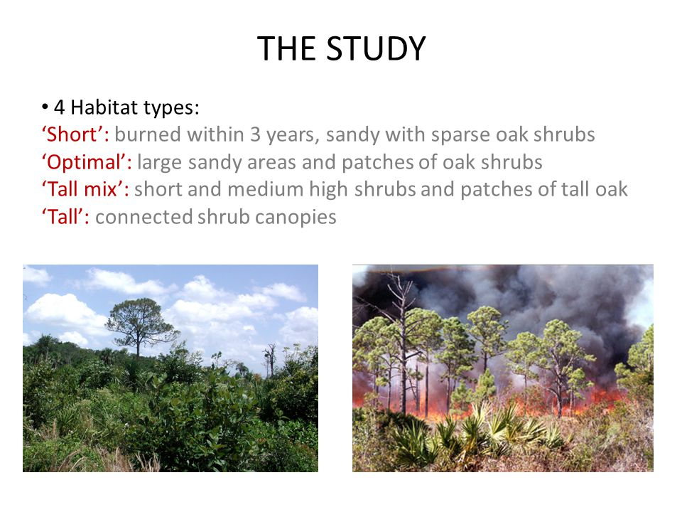 4 Habitat types: 'Short': burned within 3 years, sandy with sparse oak shrubs 'Optimal': large sandy areas and patches of oak shrubs 'Tall mix': short and medium high shrubs and patches of tall oak 'Tall': connected shrub canopies THE STUDY