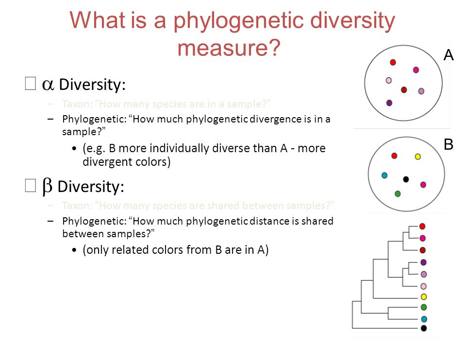 """What is a phylogenetic diversity measure?  Diversity: –Taxon: """"How many species are in a sample?"""" –Phylogenetic: """"How much phylogenetic divergence i"""