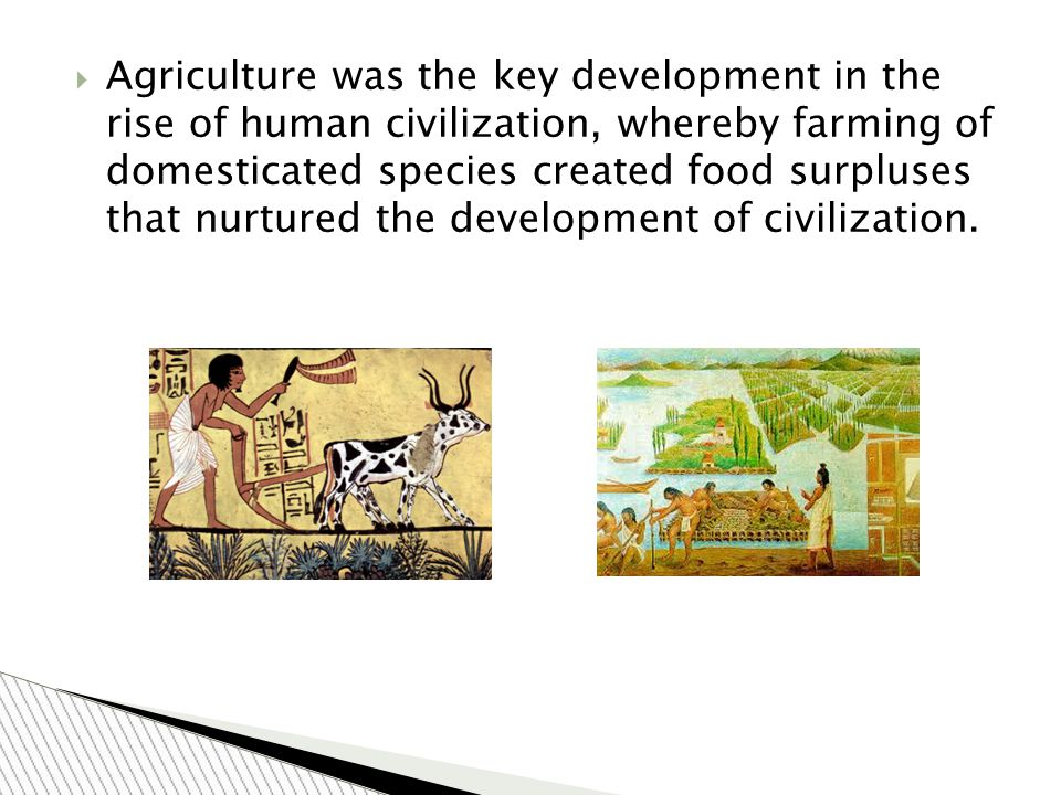  Agriculture was the key development in the rise of human civilization, whereby farming of domesticated species created food surpluses that nurtured the development of civilization.