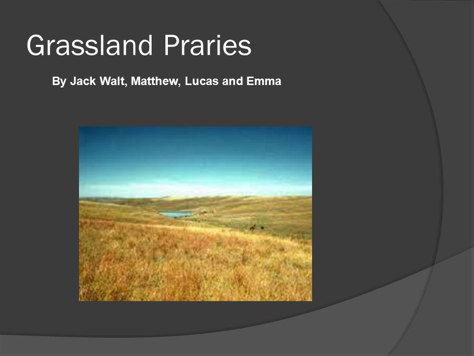 Grassland Praries By Jack Walt, Matthew, Lucas and Emma