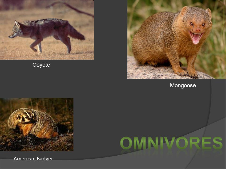 American Badger Mongoose Coyote
