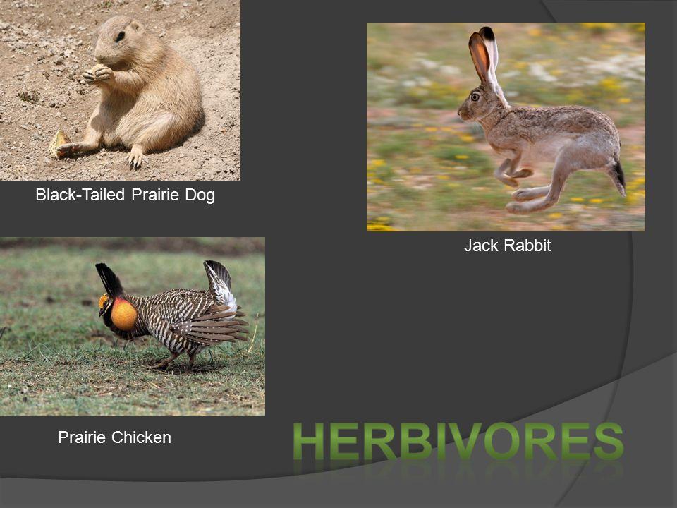 Black-Tailed Prairie Dog Jack Rabbit Prairie Chicken