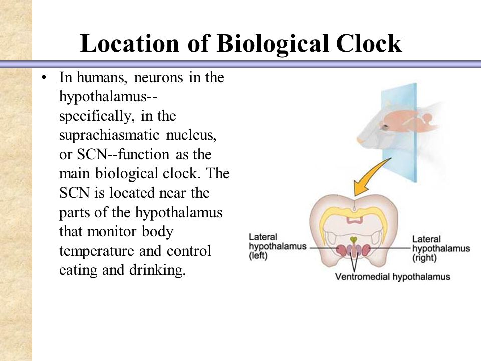 Location of Biological Clock In humans, neurons in the hypothalamus-- specifically, in the suprachiasmatic nucleus, or SCN--function as the main biological clock.