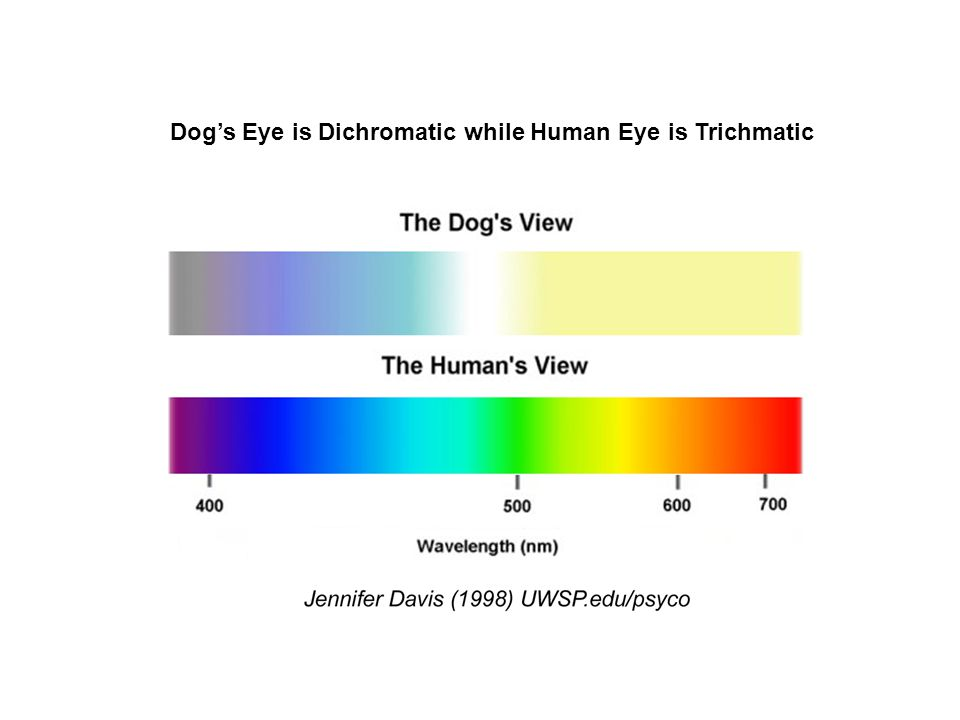 Human Eye is Superior in Spatial Resolution than Dog The diagram shows the difference in spatial resolution between human and dog.