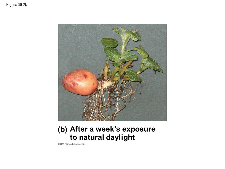 Figure 39.19 Synthesis PrPr P fr Red light Far-red light Slow conversion in darkness (some plants) Responses: seed germination, control of flowering, etc.