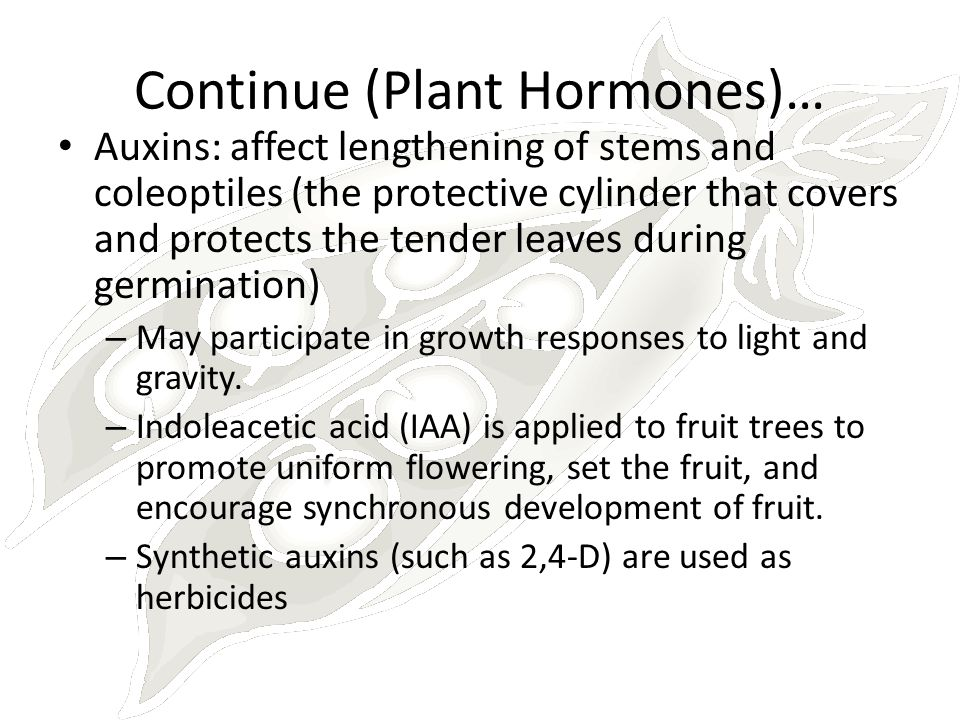 Continue (Plant Hormones)… Auxins: affect lengthening of stems and coleoptiles (the protective cylinder that covers and protects the tender leaves dur