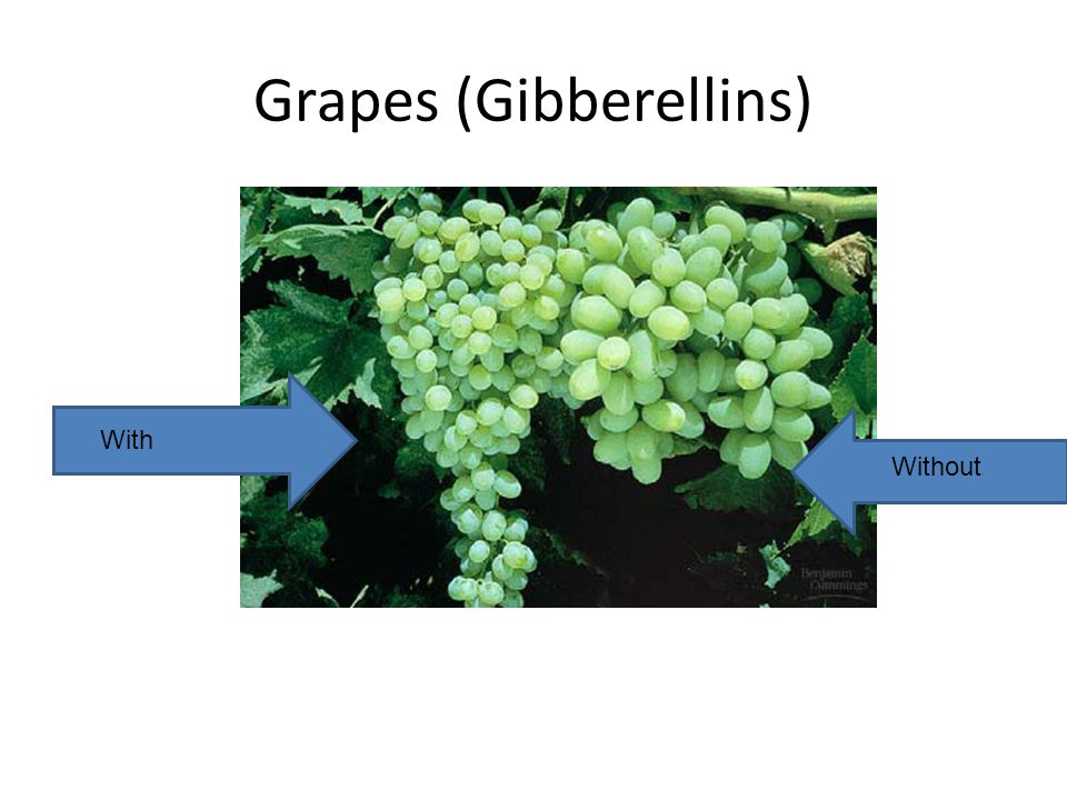 Grapes (Gibberellins) With Without