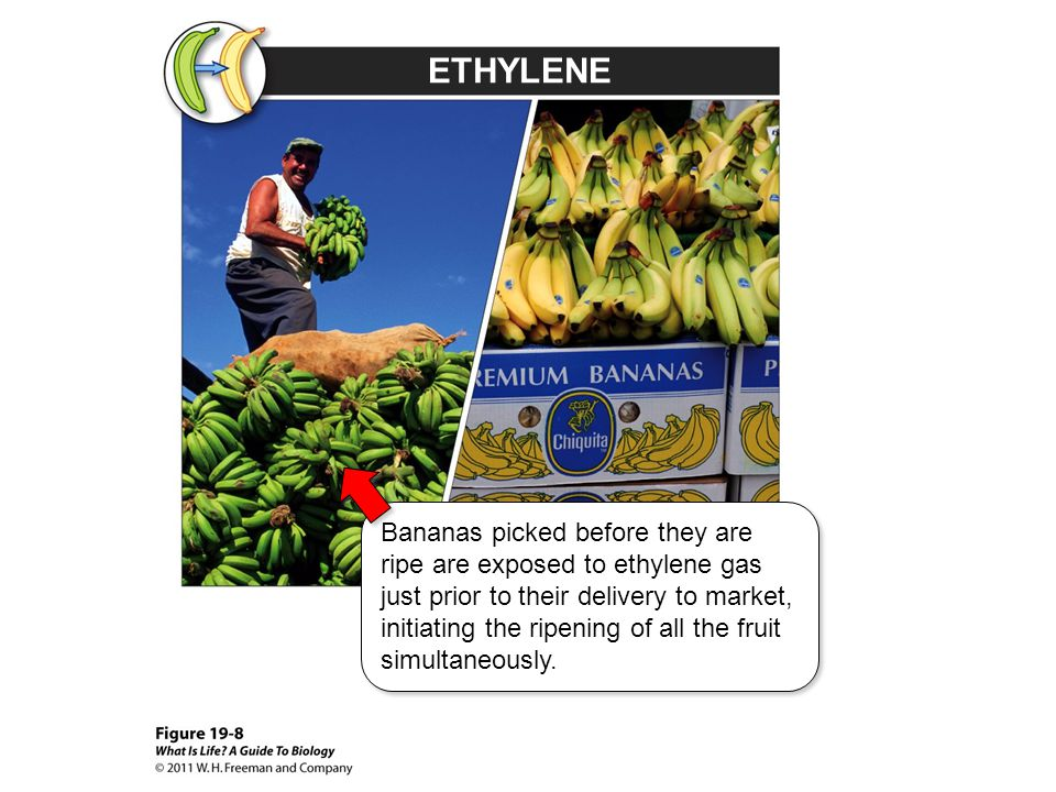 ETHYLENE Bananas picked before they are ripe are exposed to ethylene gas just prior to their delivery to market, initiating the ripening of all the fr