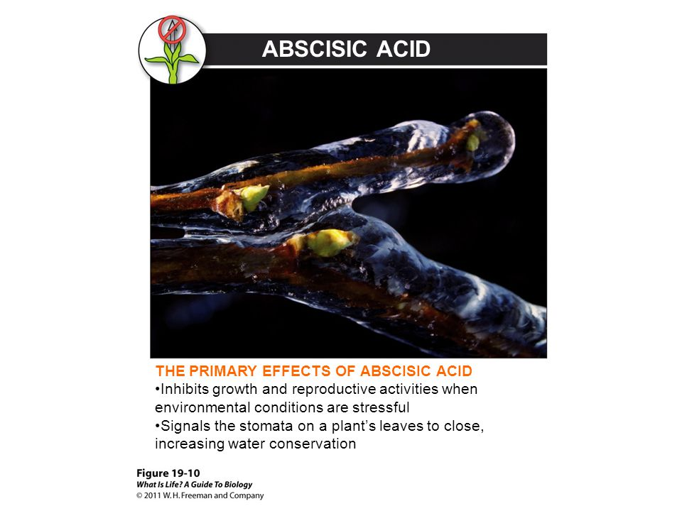 ABSCISIC ACID THE PRIMARY EFFECTS OF ABSCISIC ACID Inhibits growth and reproductive activities when environmental conditions are stressful Signals the
