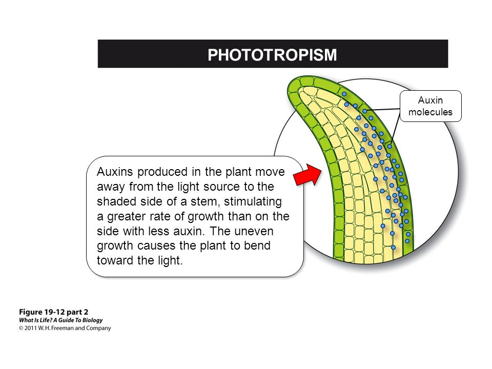 Auxins produced in the plant move away from the light source to the shaded side of a stem, stimulating a greater rate of growth than on the side with