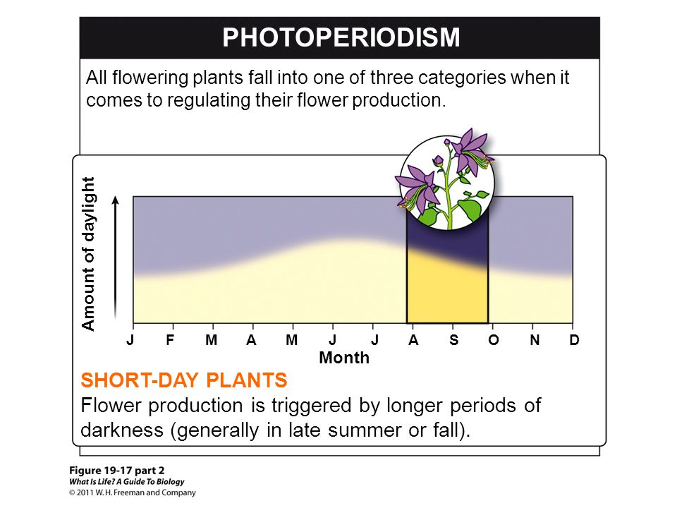 PHOTOPERIODISM SHORT-DAY PLANTS Flower production is triggered by longer periods of darkness (generally in late summer or fall). Amount of daylight Mo