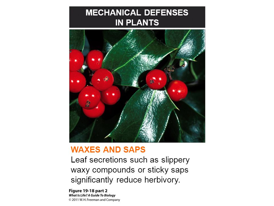 MECHANICAL DEFENSES IN PLANTS WAXES AND SAPS Leaf secretions such as slippery waxy compounds or sticky saps significantly reduce herbivory.