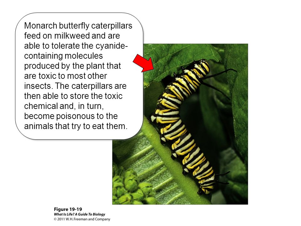 Monarch butterfly caterpillars feed on milkweed and are able to tolerate the cyanide- containing molecules produced by the plant that are toxic to mos