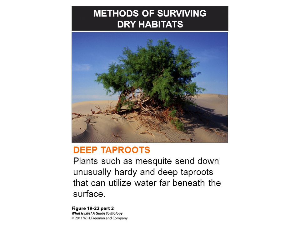METHODS OF SURVIVING DRY HABITATS DEEP TAPROOTS Plants such as mesquite send down unusually hardy and deep taproots that can utilize water far beneath