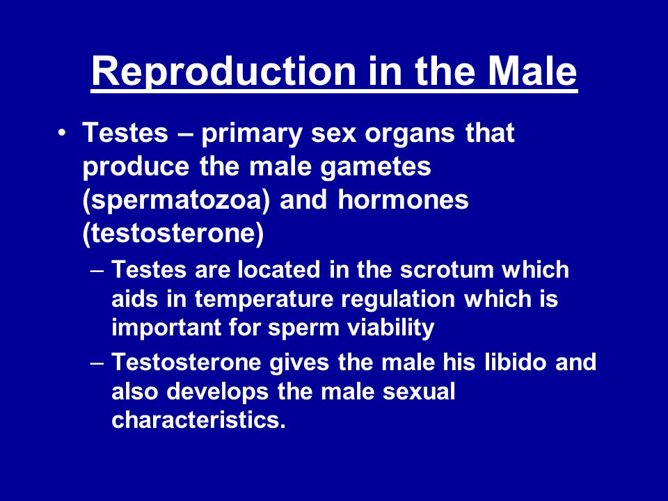 Reproduction in the Male Testes – primary sex organs that produce the male gametes (spermatozoa) and hormones (testosterone) –Testes are located in the scrotum which aids in temperature regulation which is important for sperm viability –Testosterone gives the male his libido and also develops the male sexual characteristics.