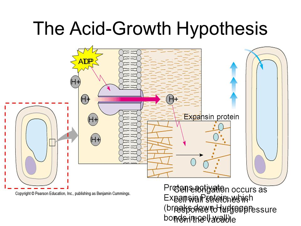 The Acid-Growth Hypothesis H+ Protons activate Expansin Protein, which (breaks down Hydrogen bonds in cell wall) Cell elongation occurs as cell wall s