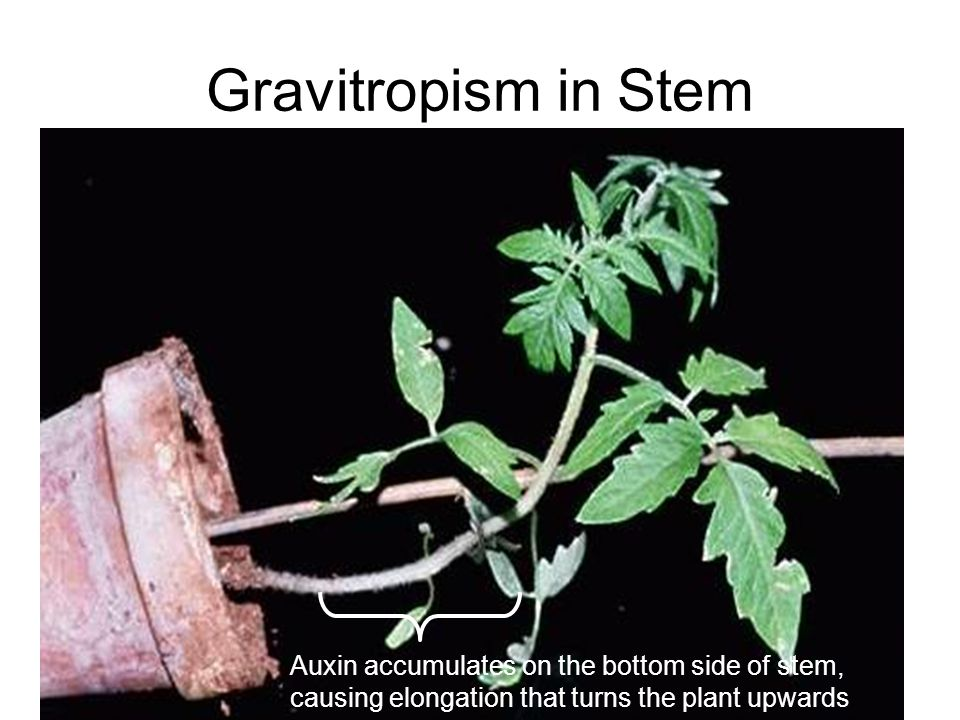 Gravitropism in Stem Auxin accumulates on the bottom side of stem, causing elongation that turns the plant upwards