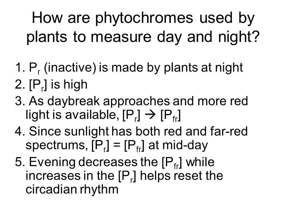How are phytochromes used by plants to measure day and night? 1. P r (inactive) is made by plants at night 2. [P r ] is high 3. As daybreak approaches