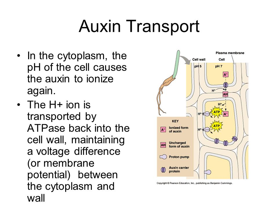 Auxin Transport Voltage difference contributes to the favoring of anion transport out of the cytoplasm, so anionic auxin leaves the cytoplasm of the cell … as this cycle continues, auxin can be transported throughout the plant