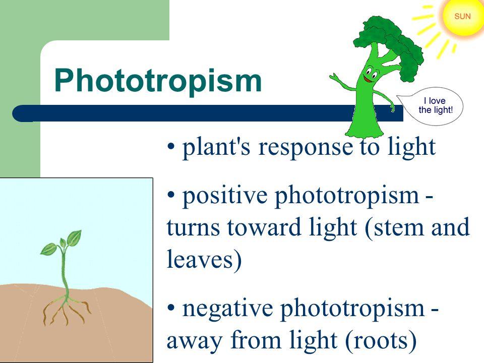 Phototropism plant's response to light positive phototropism - turns toward light (stem and leaves) negative phototropism - away from light (roots)