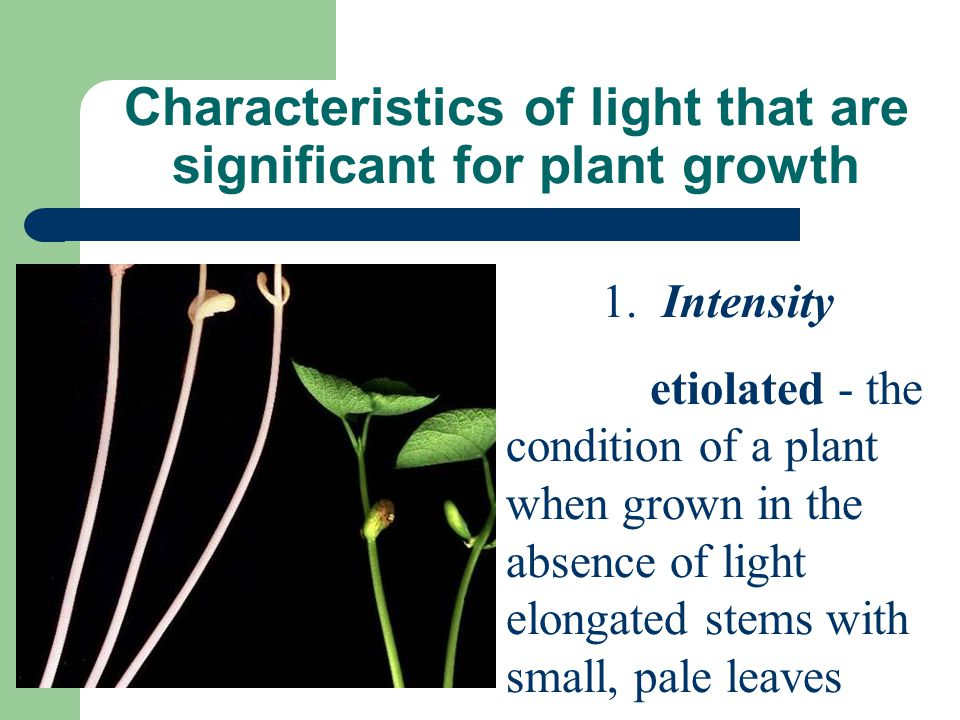 Characteristics of light that are significant for plant growth 1. Intensity etiolated - the condition of a plant when grown in the absence of light el