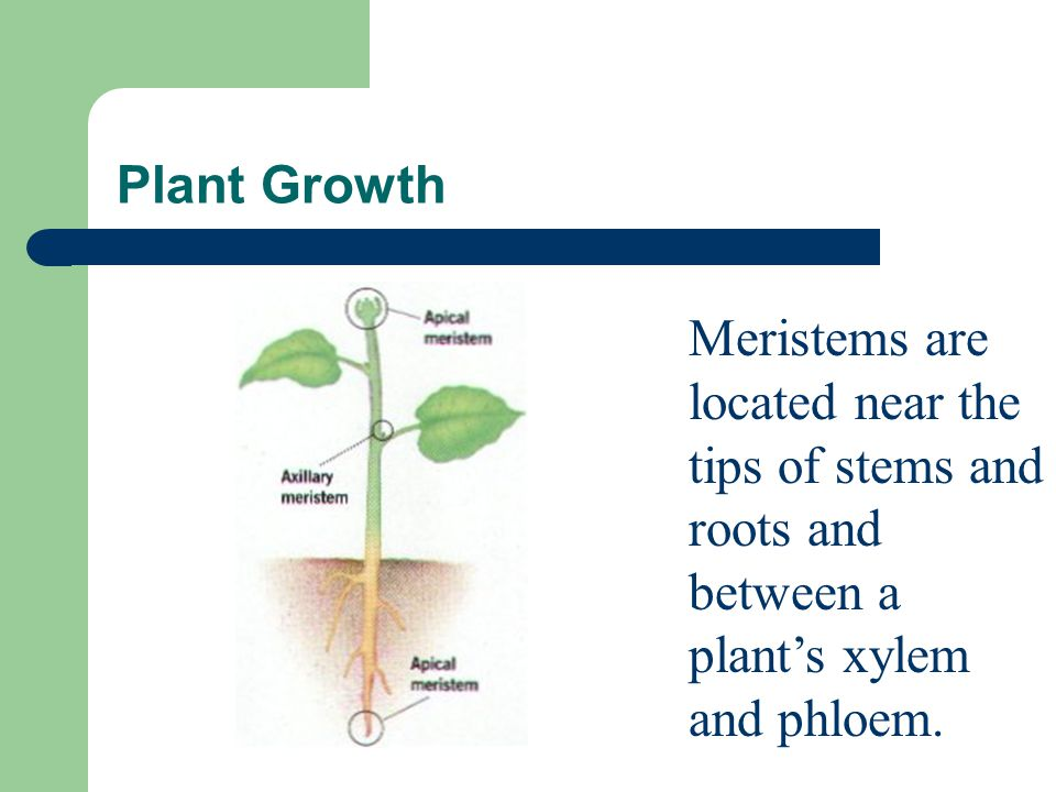 Plant Growth Meristems are located near the tips of stems and roots and between a plant's xylem and phloem.