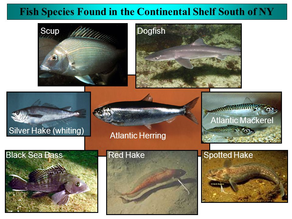Fish Species Found in the Continental Shelf South of NY Black Sea Bass Silver Hake (whiting) Atlantic Herring Spotted Hake Red Hake Atlantic Mackerel DogfishScup