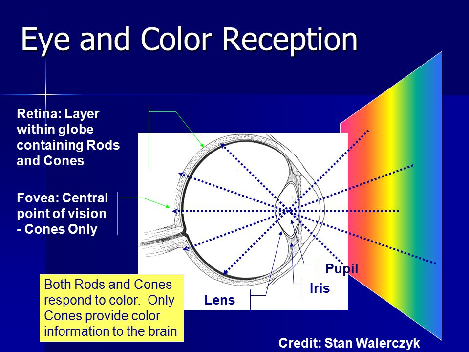 Eye and Color Reception Pupil Iris Retina: Layer within globe containing Rods and Cones Fovea: Central point of vision - Cones Only Both Rods and Cones respond to color.