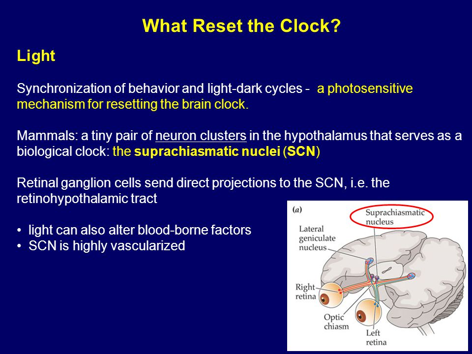 Light Synchronization of behavior and light-dark cycles - a photosensitive mechanism for resetting the brain clock.