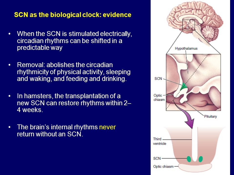 SCN as the biological clock: evidence When the SCN is stimulated electrically, circadian rhythms can be shifted in a predictable way Removal: abolishes the circadian rhythmicity of physical activity, sleeping and waking, and feeding and drinking.