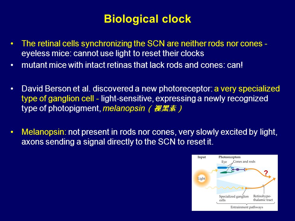 Biological clock The retinal cells synchronizing the SCN are neither rods nor cones - eyeless mice: cannot use light to reset their clocks mutant mice with intact retinas that lack rods and cones: can.