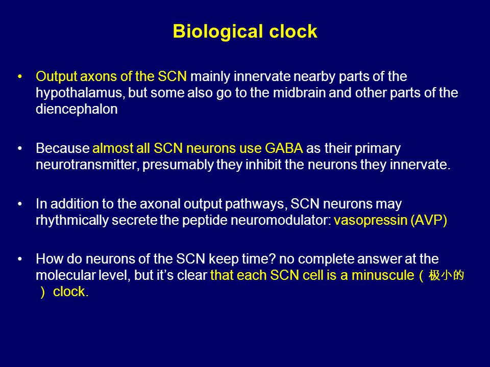 Biological clock Output axons of the SCN mainly innervate nearby parts of the hypothalamus, but some also go to the midbrain and other parts of the diencephalon Because almost all SCN neurons use GABA as their primary neurotransmitter, presumably they inhibit the neurons they innervate.