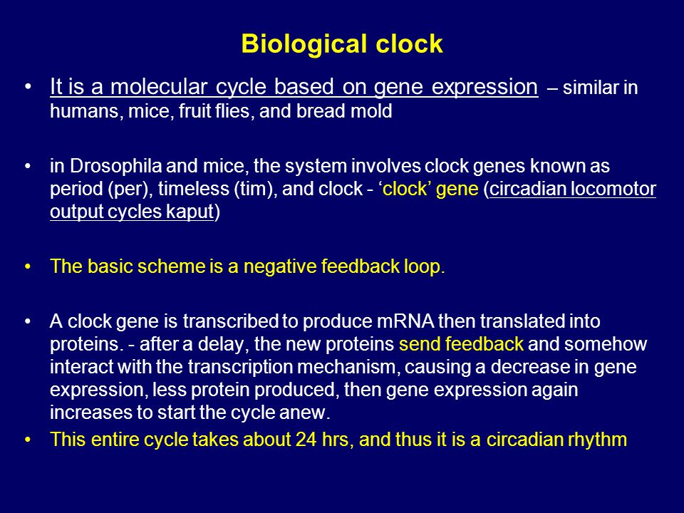 Biological clock It is a molecular cycle based on gene expression – similar in humans, mice, fruit flies, and bread mold in Drosophila and mice, the system involves clock genes known as period (per), timeless (tim), and clock - 'clock' gene (circadian locomotor output cycles kaput) The basic scheme is a negative feedback loop.
