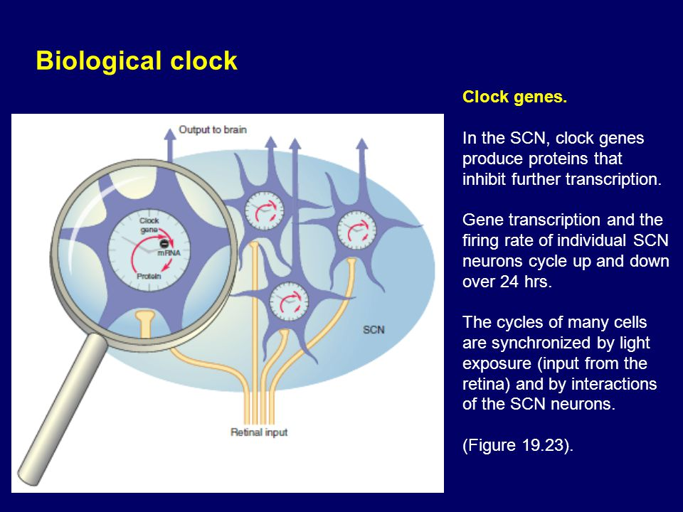 Biological clock Clock genes.