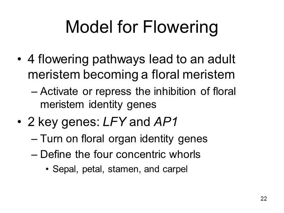Model for Flowering 4 flowering pathways lead to an adult meristem becoming a floral meristem –Activate or repress the inhibition of floral meristem i