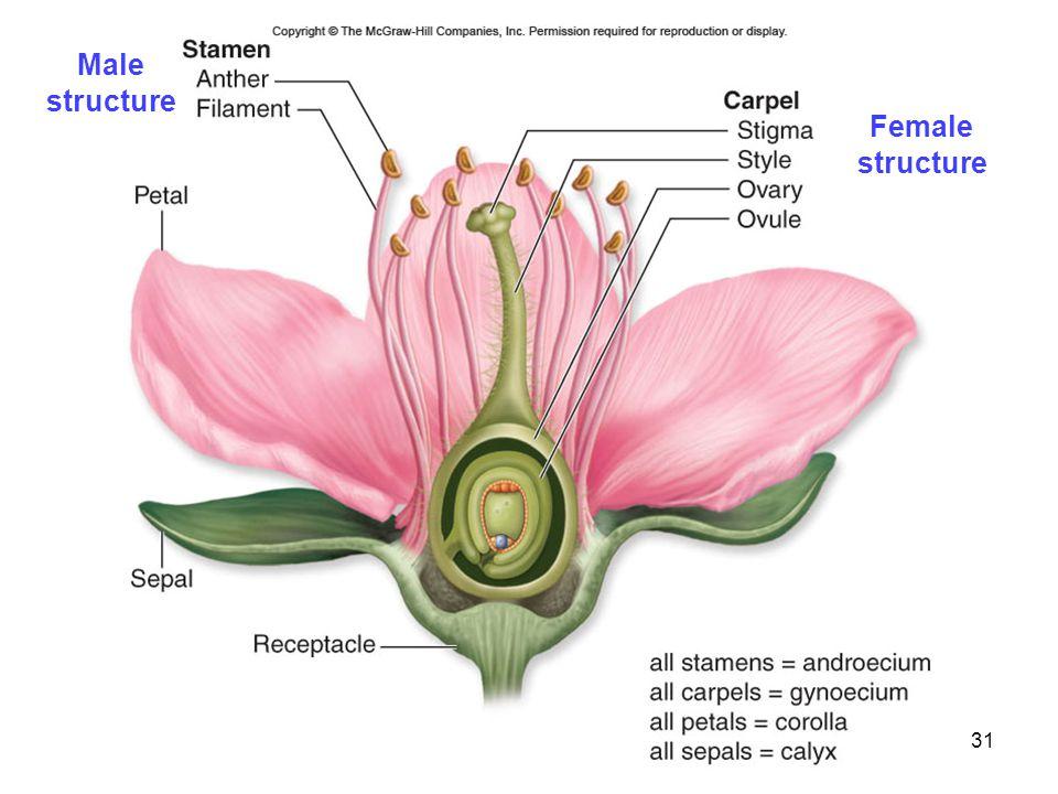 31 Male structure Female structure
