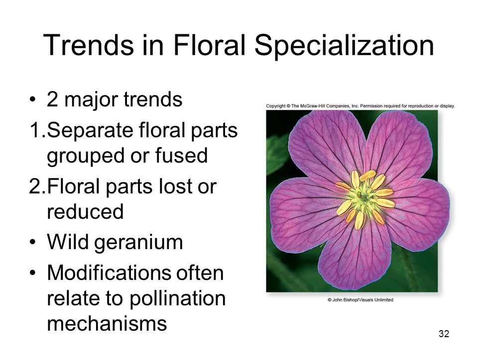 Trends in Floral Specialization 2 major trends 1.Separate floral parts grouped or fused 2.Floral parts lost or reduced Wild geranium Modifications oft