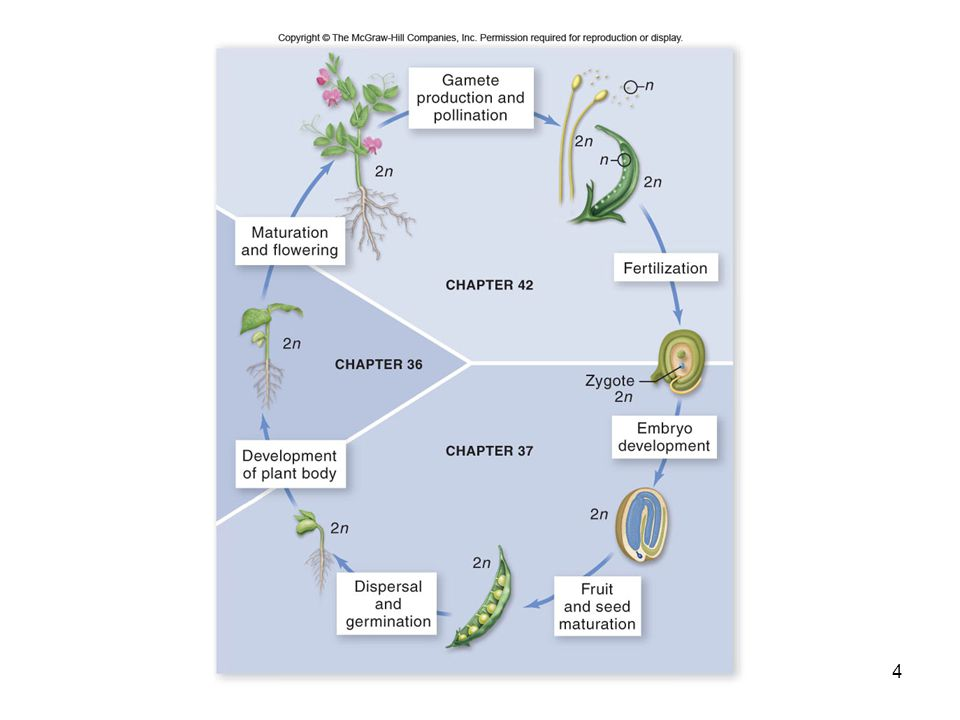 Reproductive Development Once plants are competent to reproduce, a combination of factors – including light, temperature, and both promotive and inhibitory internal signals – determines when a flower is produced Undergo phase change – subtle or obvious 5