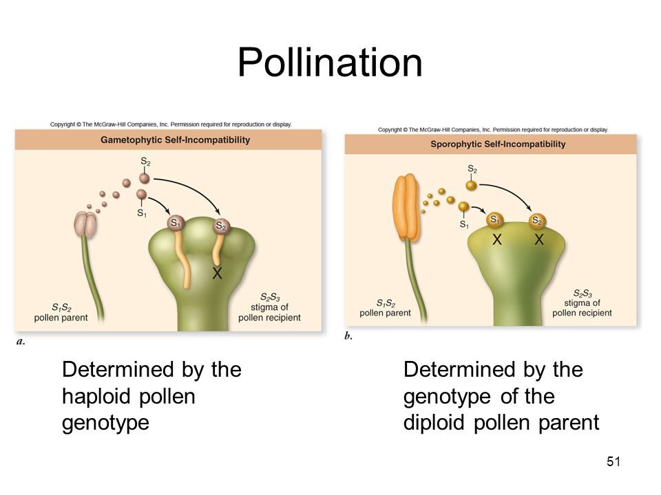 51 Pollination Determined by the haploid pollen genotype Determined by the genotype of the diploid pollen parent