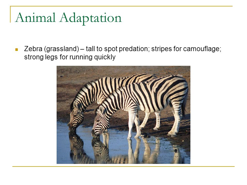 Animal Adaptation Zebra (grassland) – tall to spot predation; stripes for camouflage; strong legs for running quickly