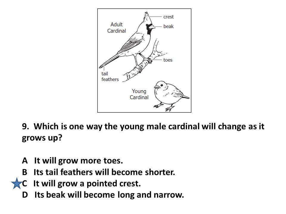 9. Which is one way the young male cardinal will change as it grows up? A It will grow more toes. B Its tail feathers will become shorter. C It will g