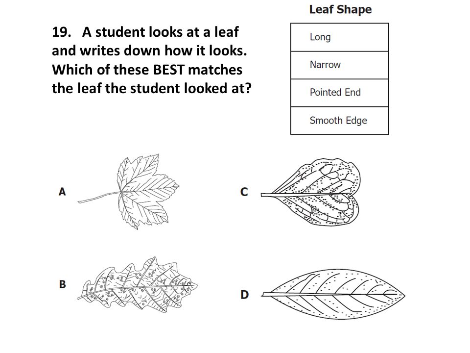 19. A student looks at a leaf and writes down how it looks. Which of these BEST matches the leaf the student looked at?