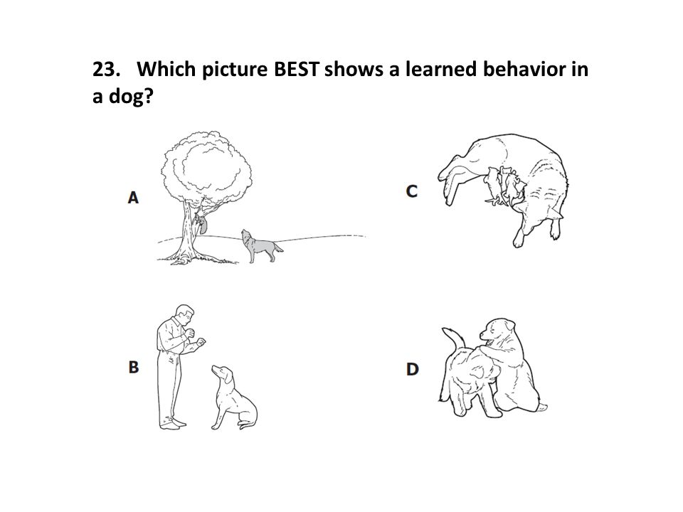 23. Which picture BEST shows a learned behavior in a dog?