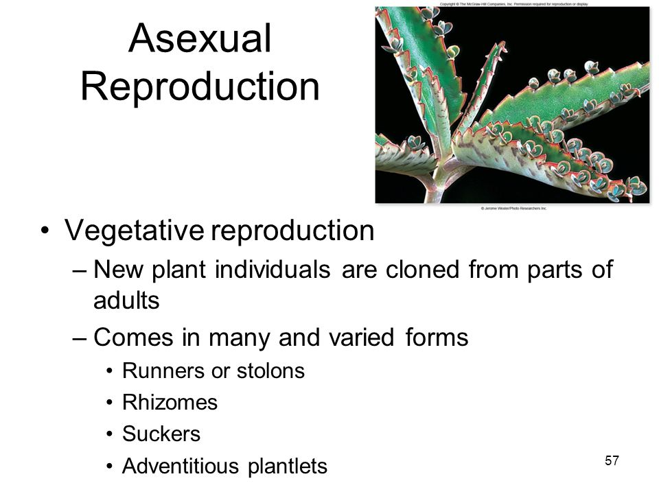 Vegetative Asexual Reproduction Asexual Reproduction